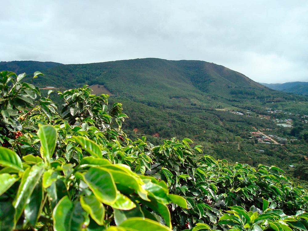 Кофейные плантации в Коста-Рике