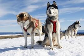 Ухаживать за хаски в канадской Арктике