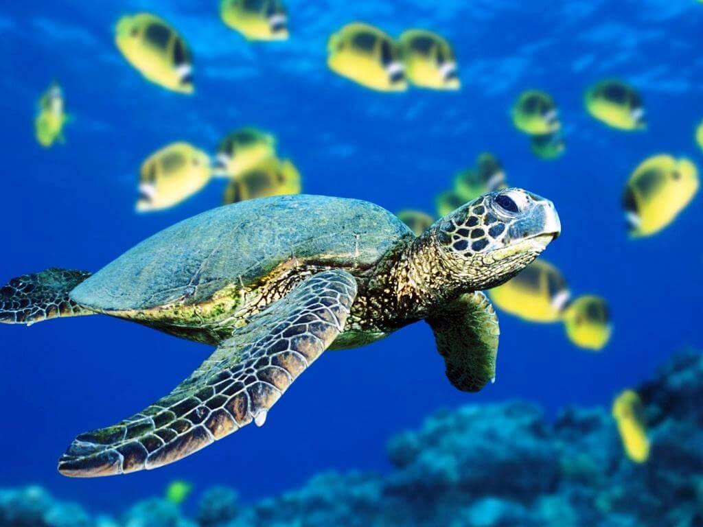 Морские черепахи в Коста-Рике